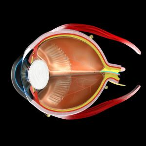Mild exercise unrelated to central corneal thickness, choroidal area in normal eyes