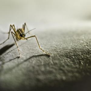 Age tied to severity, mortality in knowlesi malaria
