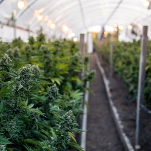 Cannabis use tied to higher incidence of psychotic disorders